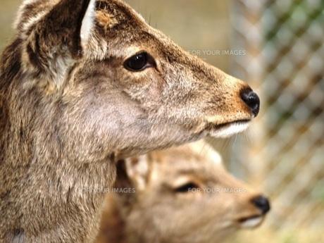 鹿の素材 [FYI00417619]