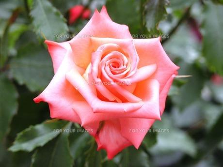 赤い薔薇の素材 [FYI00417623]