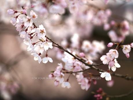 桜の素材 [FYI00417624]