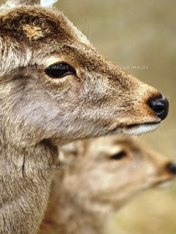鹿の素材 [FYI00417625]