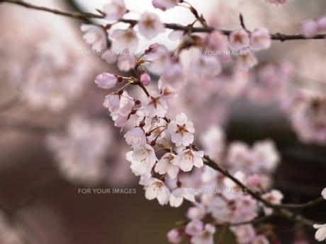 桜の素材 [FYI00417632]