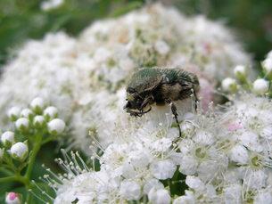 昆虫と白い花の素材 [FYI00417635]