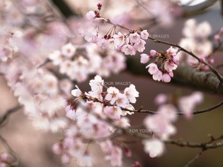 桜の素材 [FYI00417638]