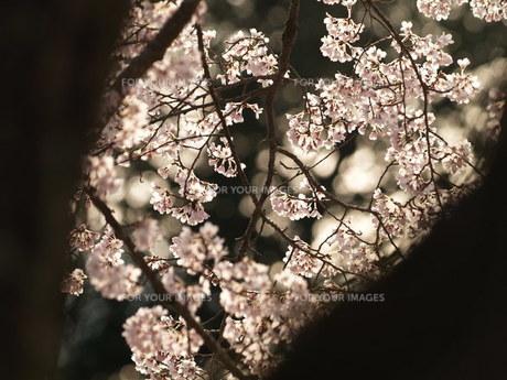 木立の間の桜の素材 [FYI00417640]