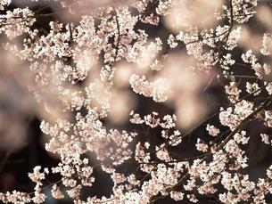 桜の素材 [FYI00417642]