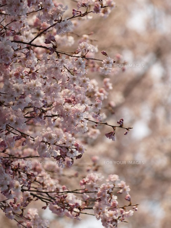 桜の風景の素材 [FYI00417646]