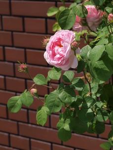 バラと壁の写真素材 [FYI00417678]