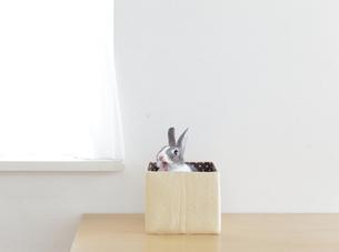 あくびうさぎの素材 [FYI00417745]