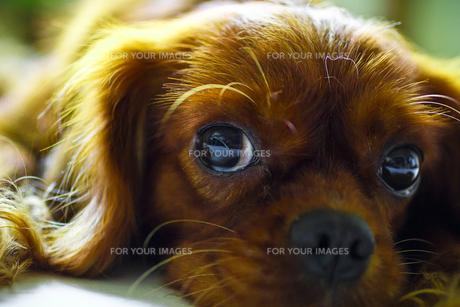 こっちを見る犬の素材 [FYI00417797]