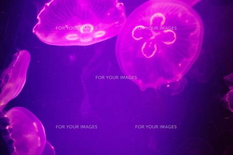 紫海月の素材 [FYI00417833]
