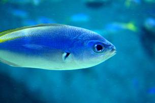 青い魚の素材 [FYI00417844]