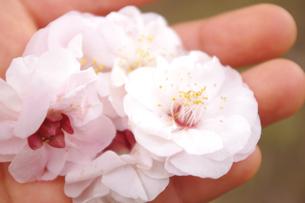 手のひらの花の素材 [FYI00417848]