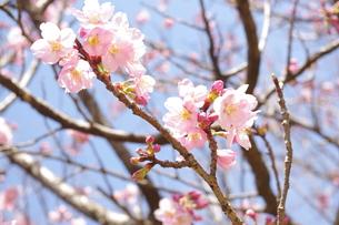 桜の素材 [FYI00417850]