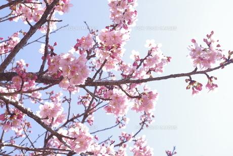 桜の素材 [FYI00417853]