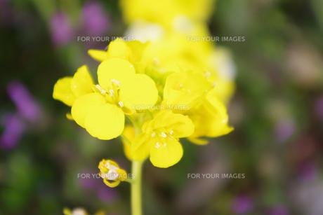 菜の花の素材 [FYI00417855]