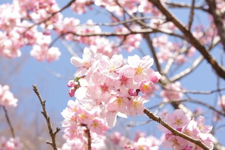 桜の素材 [FYI00417862]
