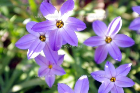 紫の花の素材 [FYI00417879]