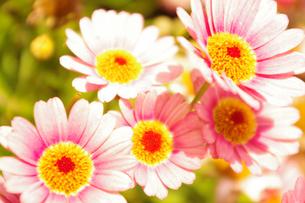 ピンクの花の素材 [FYI00417891]