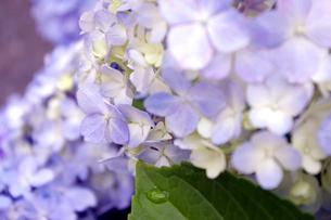 紫陽花の素材 [FYI00417900]