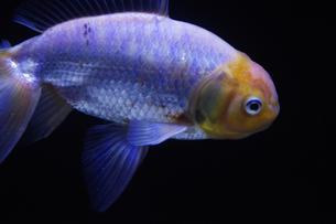 銀色の魚の素材 [FYI00417906]