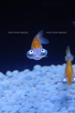 天体金魚の素材 [FYI00417913]