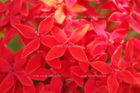 赤い花の素材 [FYI00417915]