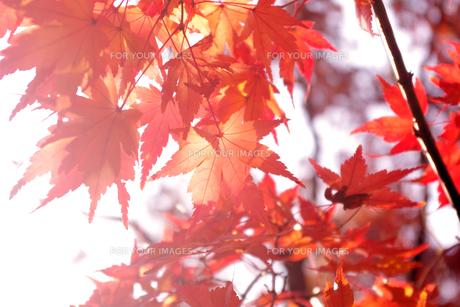 光を浴びる紅葉の素材 [FYI00417917]