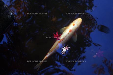 紅葉と鯉の素材 [FYI00417918]