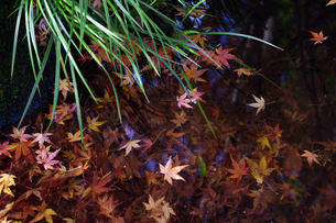 水の中の紅葉の素材 [FYI00417924]