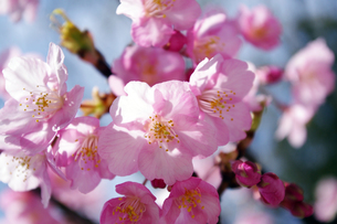 河津桜の素材 [FYI00417949]