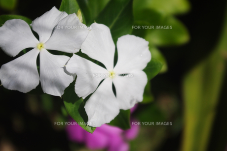白い花の素材 [FYI00417951]