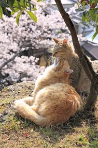 猫の親子の写真素材 [FYI00418126]