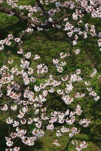 兼六園の桜の写真素材 [FYI00418143]