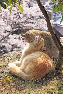 猫の親子の写真素材 [FYI00418145]