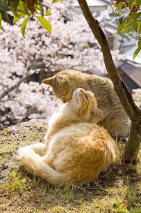 猫の親子の写真素材 [FYI00418147]
