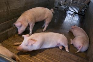 豚の写真素材 [FYI00418310]
