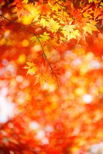 秋色もみじの写真素材 [FYI00418407]