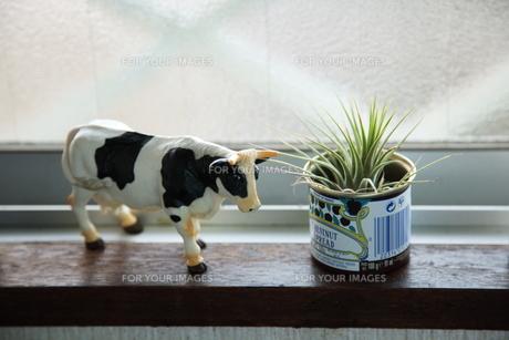 牛の置物とエアープランツの写真素材 [FYI00418475]