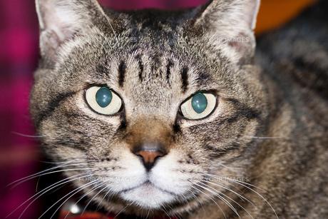 トラと呼ばれたネコの写真素材 [FYI00418503]