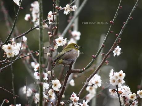 梅に鶯の写真素材 [FYI00418707]