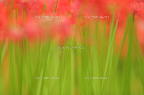 曼珠沙華のふわふわ色の素材 [FYI00418712]