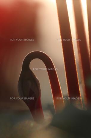Swanの素材 [FYI00418723]