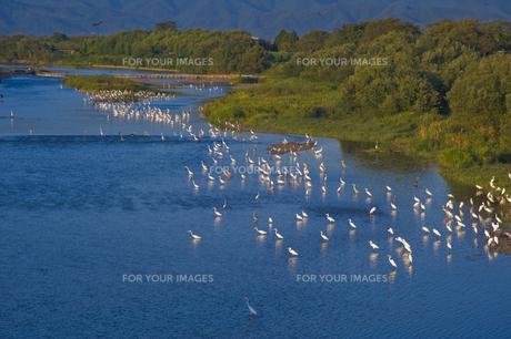 滋賀県琵琶湖姉川河口の白鷺の写真素材 [FYI00418848]
