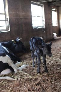 牛舎にいる親子のウシ、ナナメ構図の写真素材 [FYI00418873]