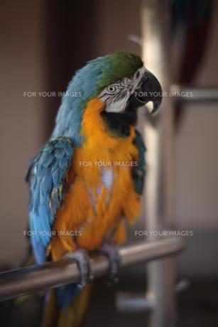 青と黄色のオウムの写真素材 [FYI00418882]