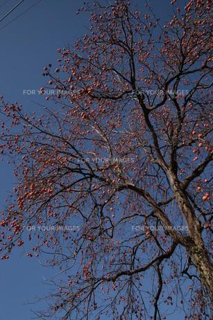 青空と鈴なりの柿、タテの写真素材 [FYI00418886]