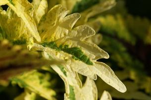 栄養系コリウスの葉の写真素材 [FYI00418954]