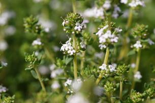 フレンチ・タイムの花の写真素材 [FYI00418992]