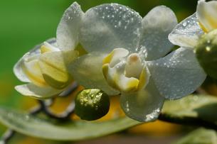 ファレノプシスの花の写真素材 [FYI00418997]