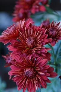 赤色の小菊の写真素材 [FYI00419041]